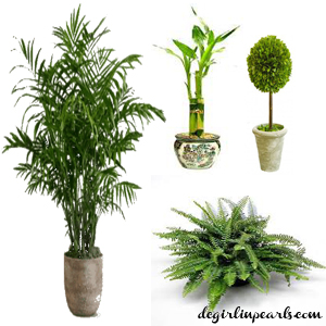 Palm Lucky Bamboo Topiary Fern