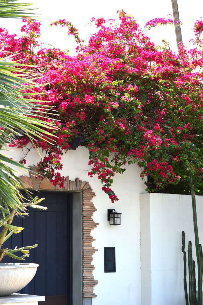 Blooming Bougainvillea in Phoenix, AZ via @ DC Girl in Pearls | dcgirlinpearls.com